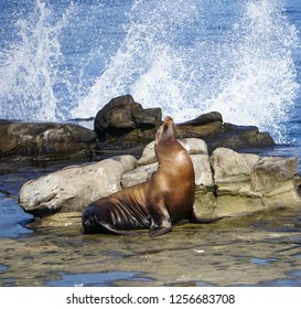 A Sea Lion on the rocks with the waves of the ocean splashing on the California Coast