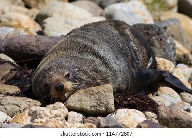 Sea lion on the rocky beach