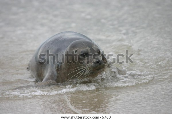 sea lion on a sandy beach with approaching waves
