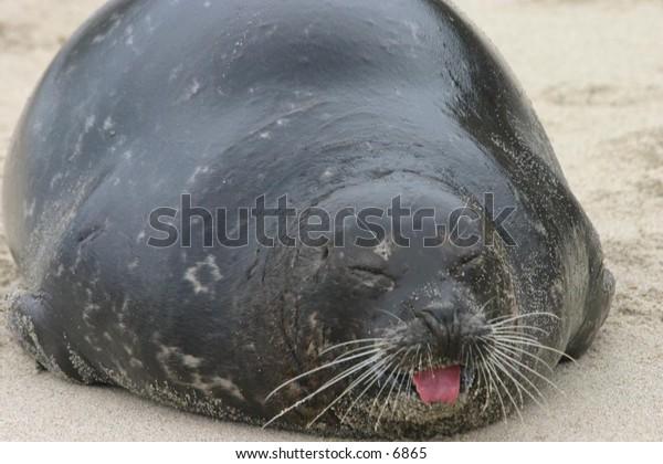 sea lion on sandy beach barking to its mates
