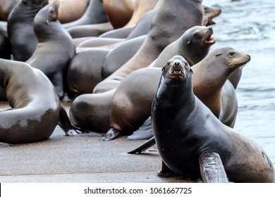 A sea lion on the side of a dock stares at the camera in Astoria, Oregon.