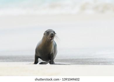 Sea lion (Otariinae) - Been Fishing