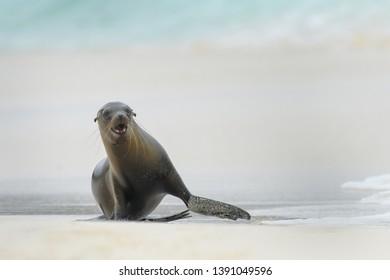 Sea lion (Otariinae) - Return from the Sea