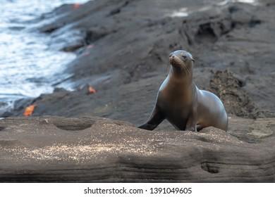 Sea lion (Otariinae) - Waddle on the Rocks