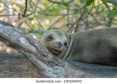 Sea lion (Otariinae) -  Woken from Log Sleep