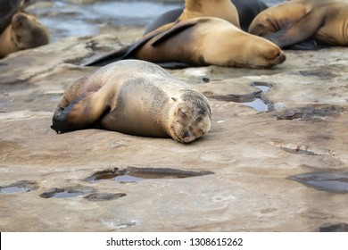 Sea Lion Pup taking a nap on the rocks in La Jolla, San Diego, California.