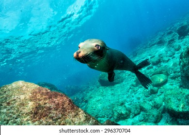 sea lion puppy underwater coming to you to have fun and play