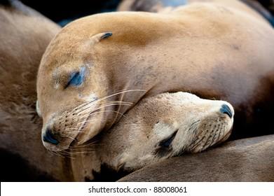 Sea Lion Pups taking a nap