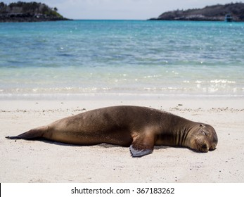 Sea Lion relaxing on the beach, Santa Fe Island, Galapagos Archipelago