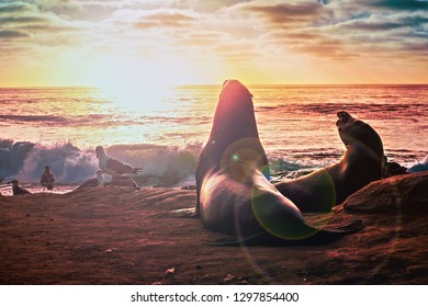A sea lion resting on the cove at La Jolla, San Diego, California, while gazing at the sunset, waves crashing on the beach below.