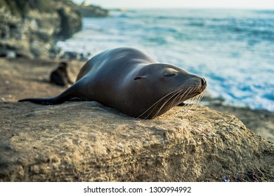 Sea lion resting on the cove on the beach in La Jolla, San Diego, California at sunset hour.