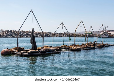 A sea lion rests on a bait barge in Ensenada harbor in Baja California, Mexico.