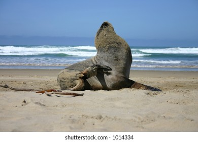 Sea Lion scratching