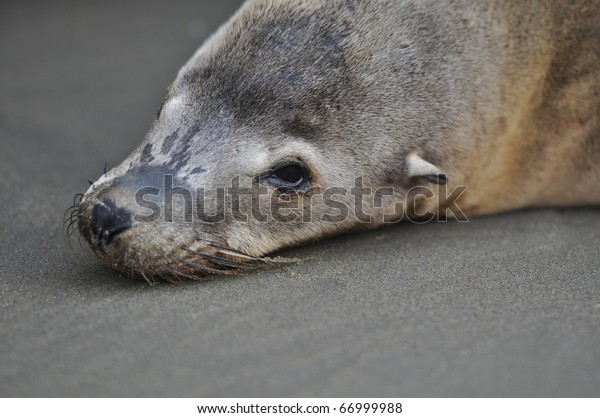 Sea Lion Seal Lying on the Beach
