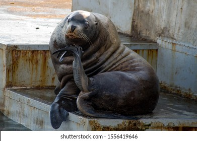 Steller's sea lion sits with a pensive, dreamy look, in a waiting position