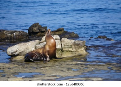 A Sea Lion sitting on the rocks at the edge of the Pacific Ocean on the California Coast
