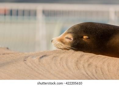 Sea lion sleeping and sunbathe on large stone in summer