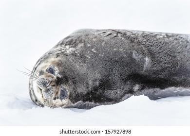 Sea lion sleeps on the snow