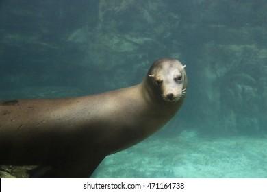 Sea Lion swimming around happily underwater