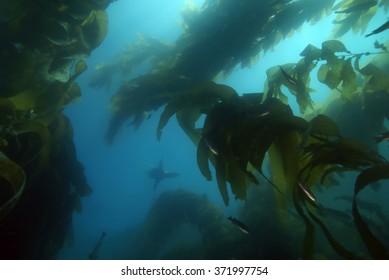 Sea lion swimming at California underwater ocean reef