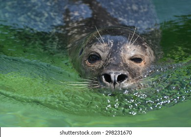 A sea lion swimming in the clear green water.