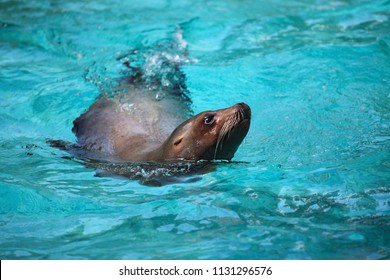A sea lion swims and looks out of the water.