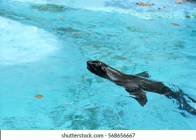 Sea Lion. Sea Lion swims. Sea Lion swims in the pool at the zoo