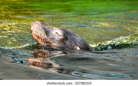 Sea Lion in water swimming