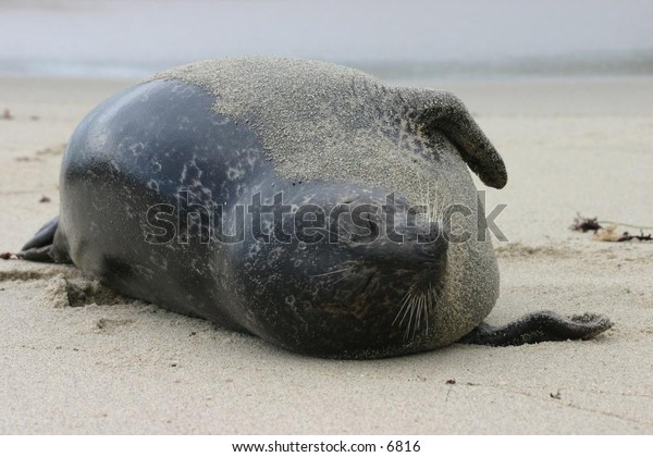 sea lion wrapped in sand