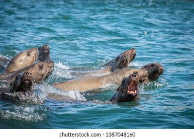Sea lions in the sea