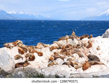 Sea lions in the Beagle Channel is a strait separating islands of the Tierra del Fuego Archipelago, in extreme southern South America.