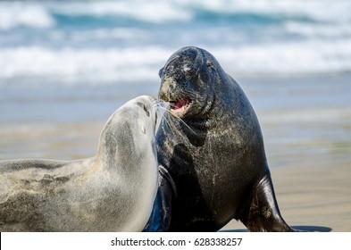 Sea lions at Cannibal Bay, New Zealand