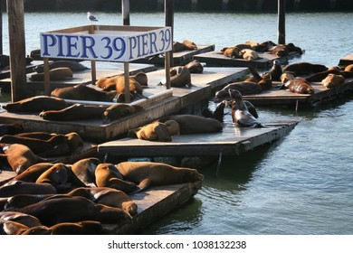 Sea Lions colony group at Pier 39 in Fisherman's Wharf district during sunset, San Francisco, California, USA. Travel destination concept
