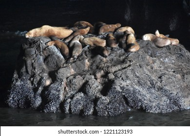 Sea Lions in Florence, Oregon