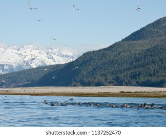 Sea lions and gulls flock to the mouth of the Chilkoot river near Haines Alaska to feed on a spring eulachon  fish run.
