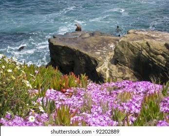 Sea Lions  on the Pacific Ocean Coast - La Jolla, San Diego, California