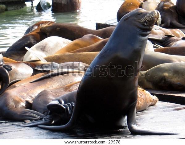 Sea Lions on San Franciso's Fisherman's Wharf
