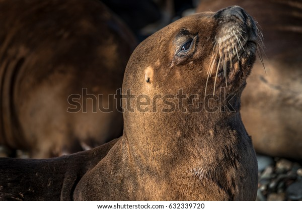 Sea lions at the Patagonia beach, Argentina, South America