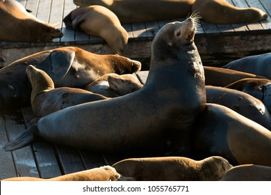 Sea lions at Pier 39 in San Francisco, California, USA