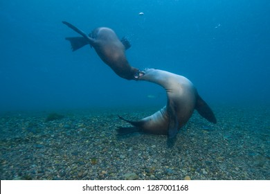 Sea Lions playing around in blue water close to the ground