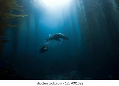 Sea Lions playing around in giant kelp forest with sun in the background