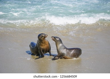 Sea Lions playing in the ocean surf off the California Coast