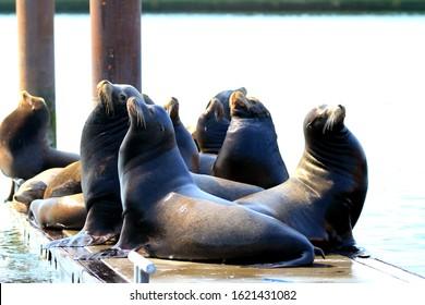 Sea Lions resting in Newport Oregon