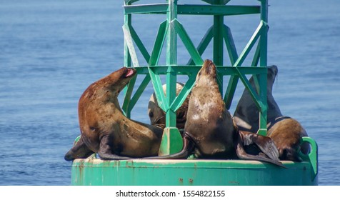 Sea lions resting on a sea buoy in the Salish Sea