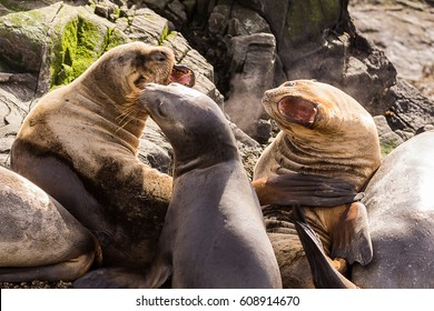Sea lions roaring in  beagle channel near Ushuaia (Argentina)