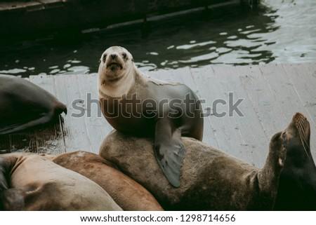 Sea Lions in San