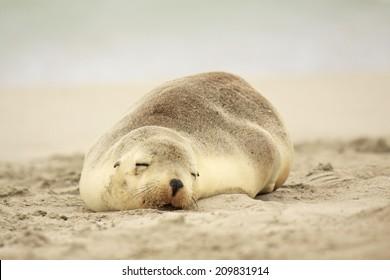 Sea Lions sleeping on Australian beach - Kangaroo Island