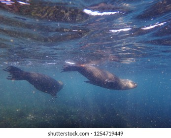 Sea lions swimming underwater in the Atlantic Ocean, near the natural reserve of Punta Loma, Patagonia Argentina