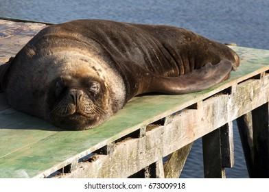 Sea lions in Valdivia. Chile