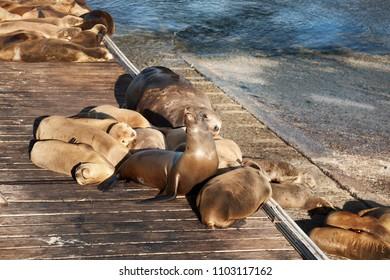 Sea lyon in Monterrey Bay